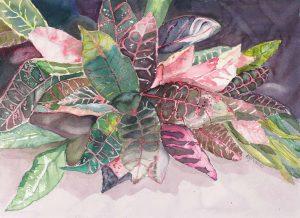 Pink Croton